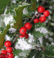 Holly winter flowers to add inside your Curb Allure tree guard pit
