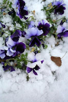 Ice Pansies