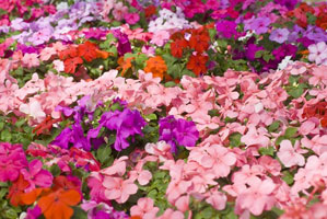 Impatiens summer Flowers to add inside your Curb Allure tree guard pit