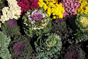 Kale with Mums autumn flowers to add inside your Curb Allure tree guard pit